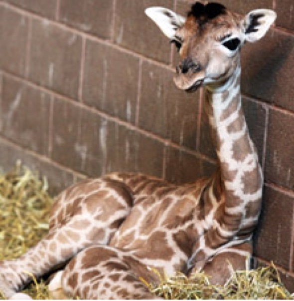 Baby giraffe born on Easter Sunday at Belfast Zoo dies