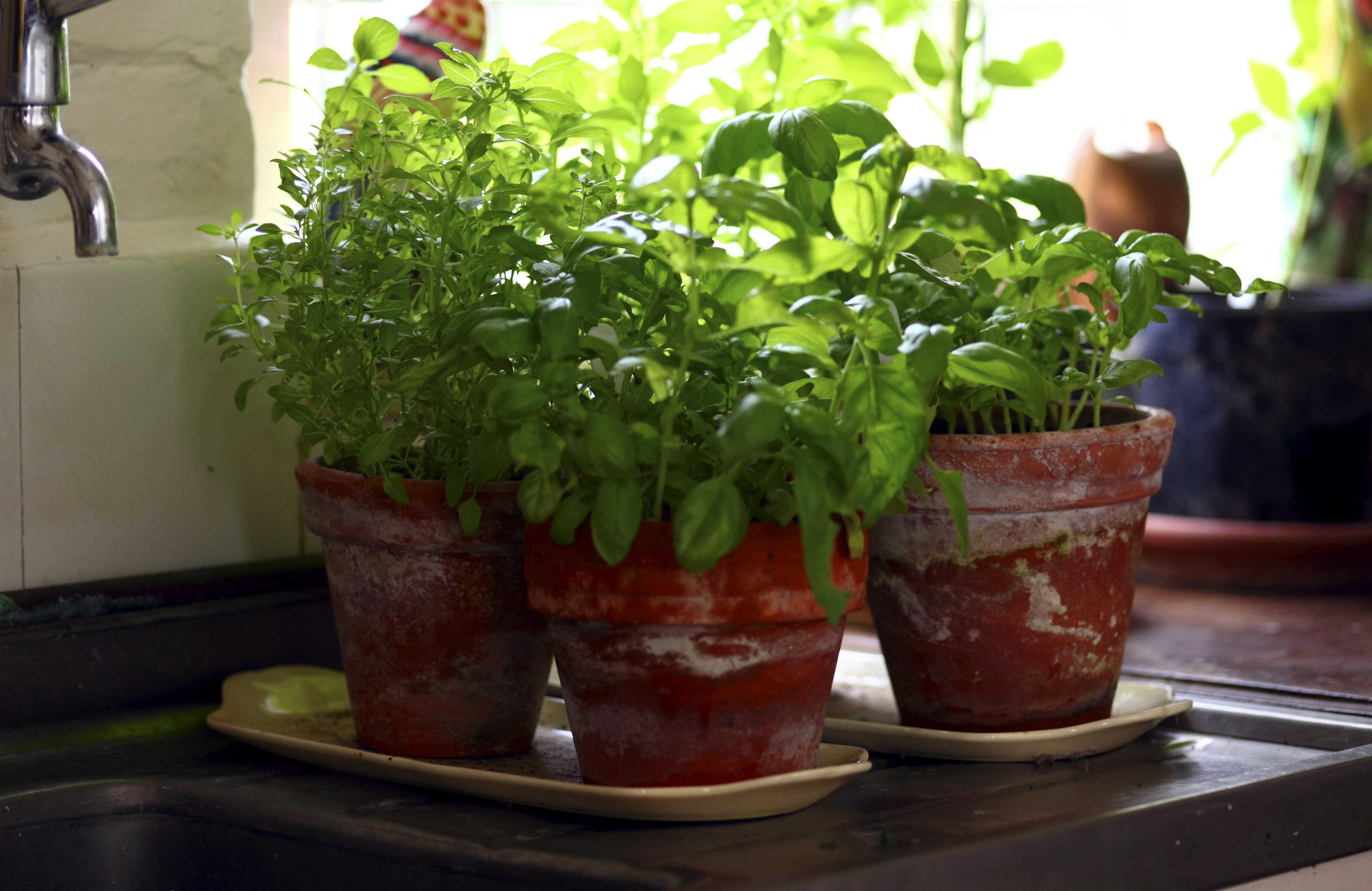 Basil plants growing in the kitchen