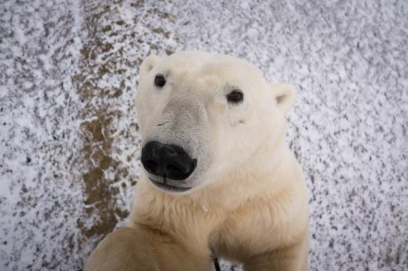 Polar bear poses for sensational 'selfie'