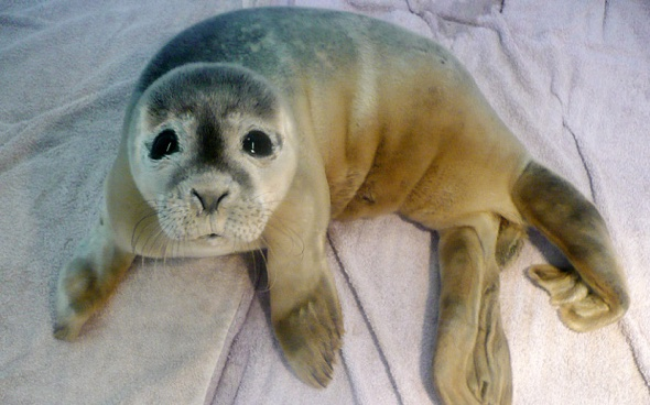 Baby seal rescued after getting stranded in cow field