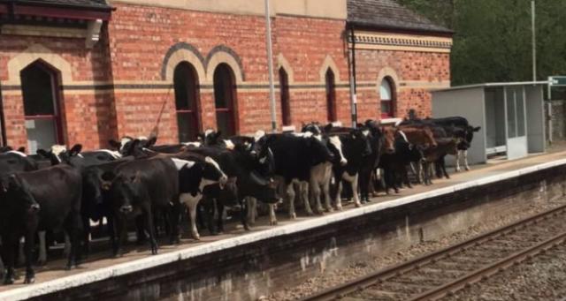 Herd of cows invades train platform in Kent