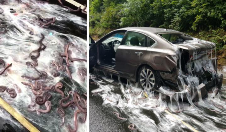 Eels in road