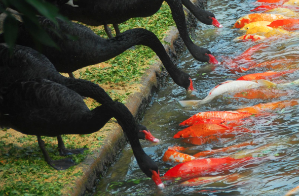 Black swans feed carp at zoo in China