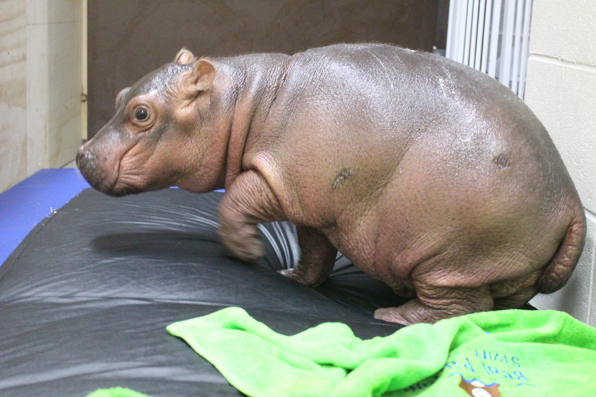 Meet Fiona, The Baby Hippo Whose Full-Time Job Is To Be