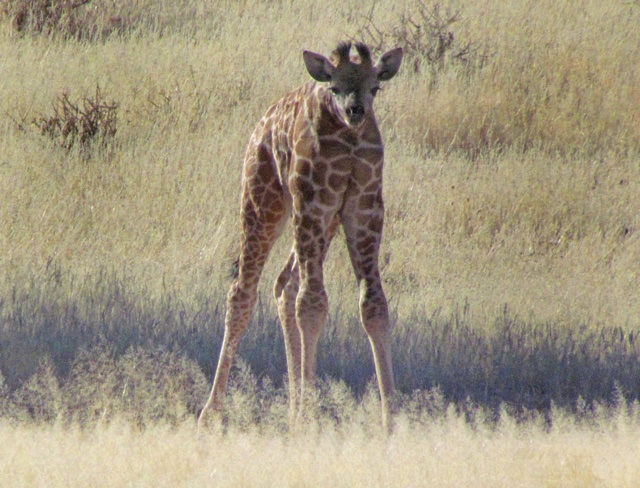 What's different about this giraffe?