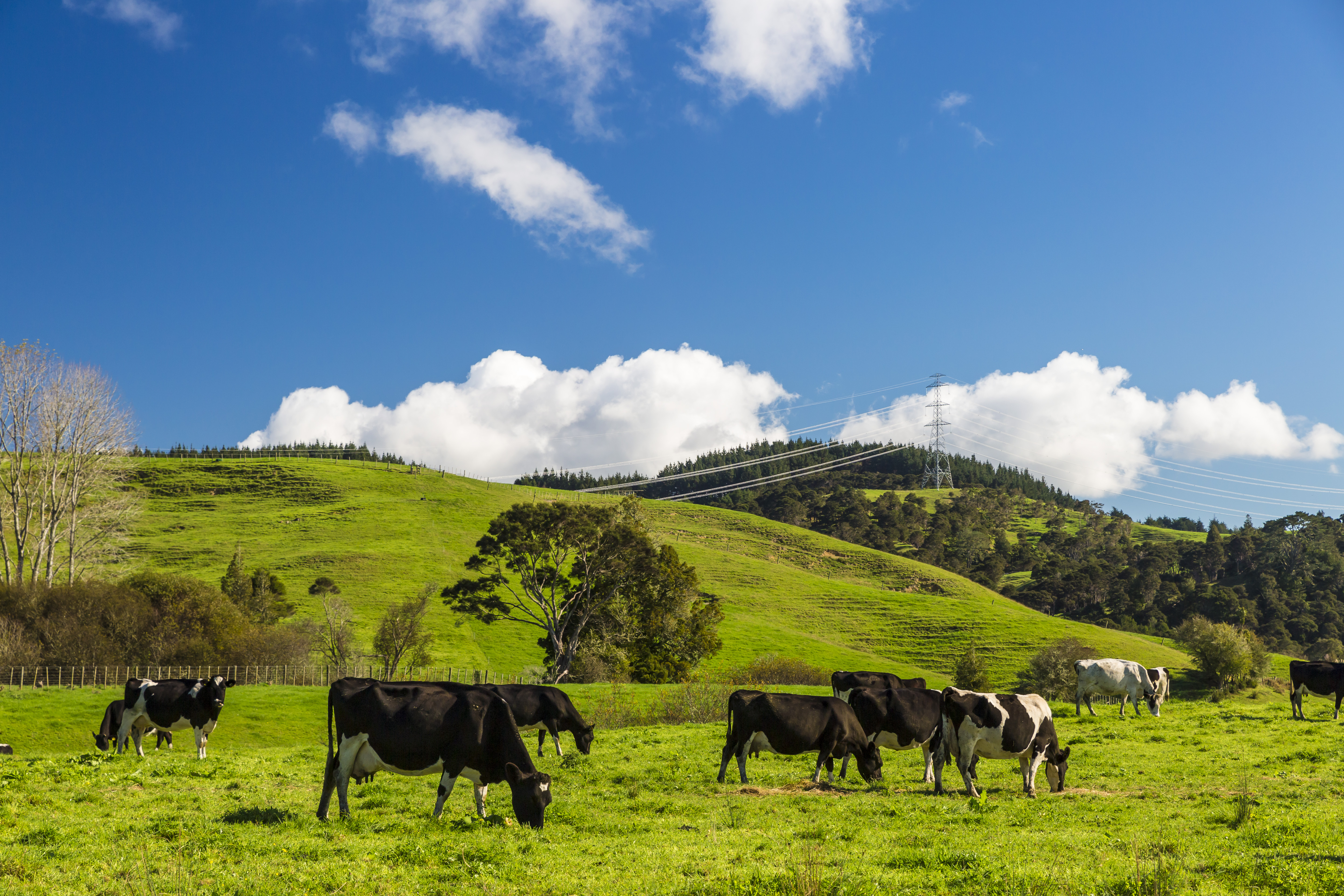 Group of cows in the