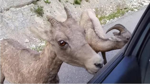 【ビデオ】カナダの国立公園でヤギが洗車サービスを開始!?