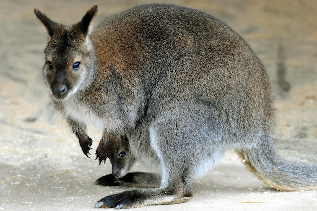 New arrivals at Twycross Zoo, Leicestershire, red-necked wallaby Kampuchea with her baby, which is still to be named.
