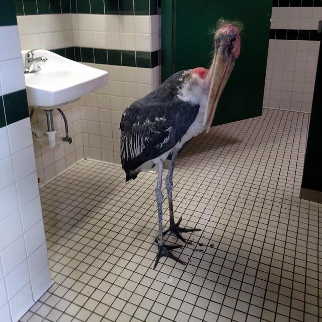 Stork hides from Hurricane Matthew in Florida zoo bathroom