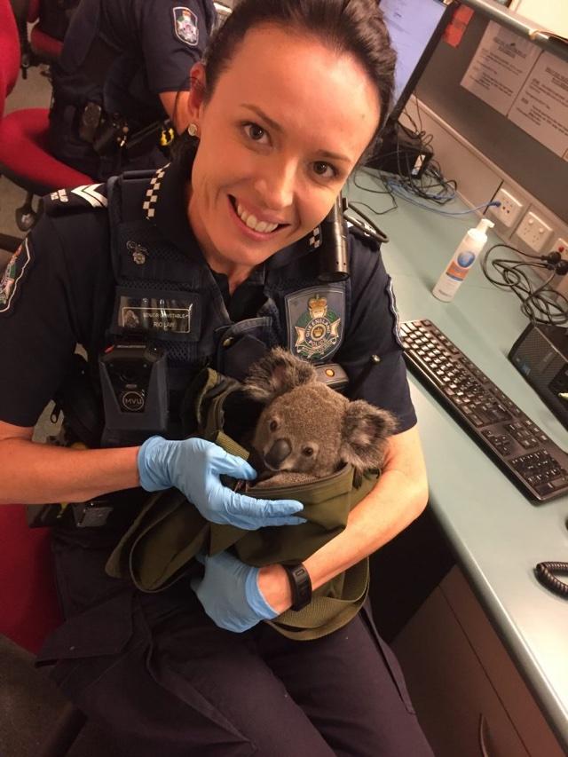 Police find baby koala in arrested woman's bag in Australia