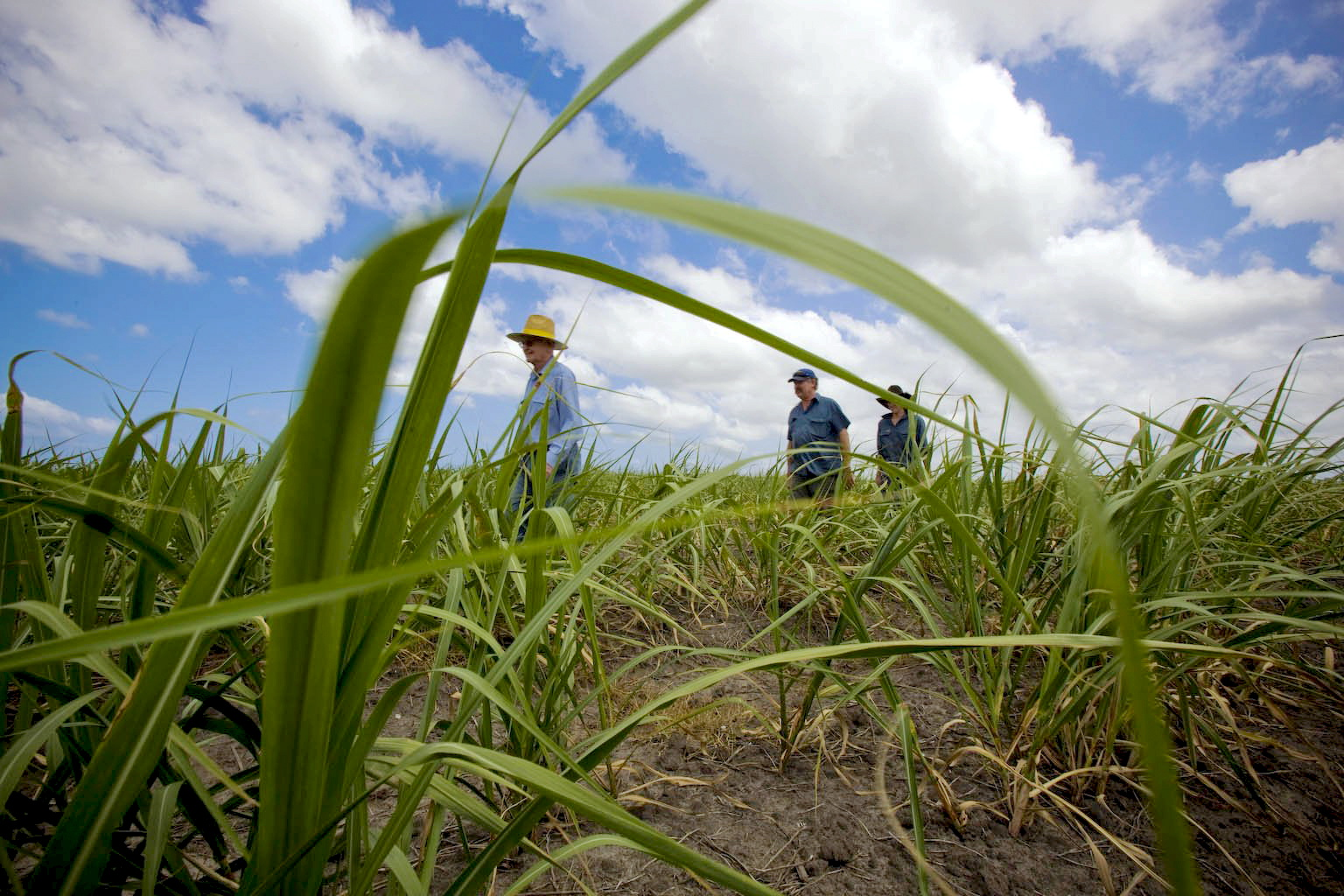 Canegrowers walk through a Norwell farm -- a site soon to become a thriving town or