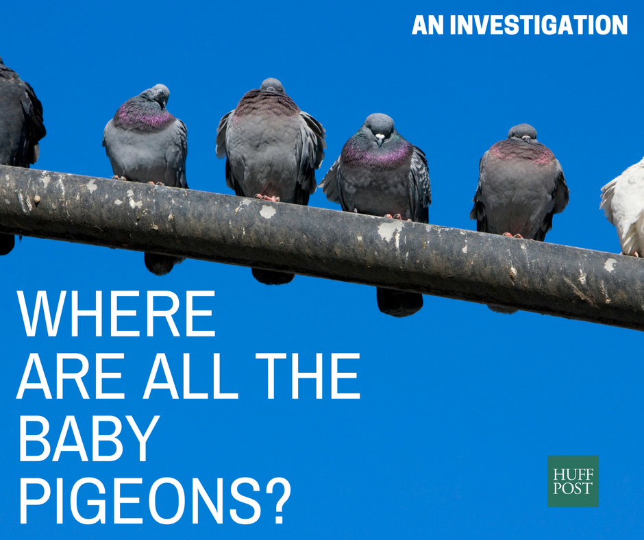 Where Are All The Baby Pigeons? An