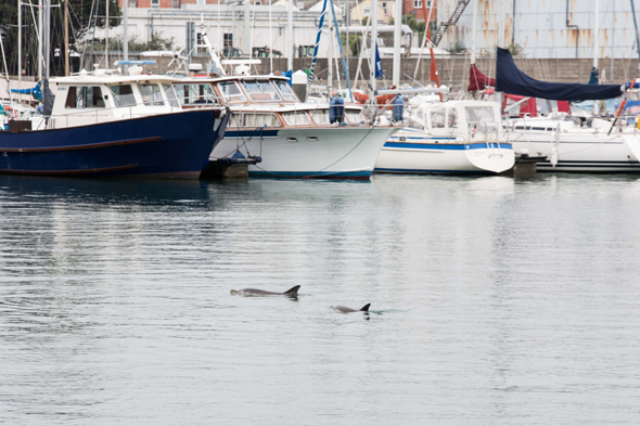 Mandatory Credit: Photo by Dorset Media/REX Shutterstock (4710830a) Dolphins in Weymouth Harbour, Dorset Dolphins in Weymouth Harbour, Dorset, Britain - 25 Apr 2015