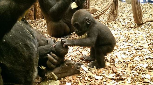 Beautiful moment gorilla strokes new baby brother's head (video)
