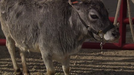 This tiny cow might be the smallest in the entire world