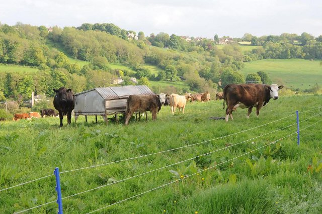 The Limousin herd