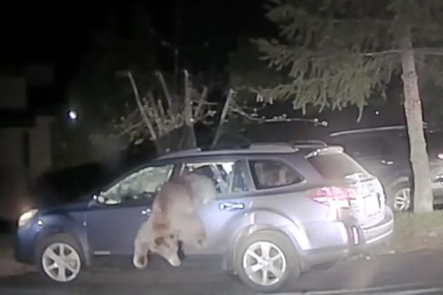 【ビデオ】駐めていたクルマの中にクマが閉じ込められていた! 勇敢な保安官が逃がしてやるまで