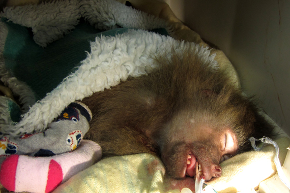 CREDIT: Rex Features Mandatory Credit: Photo by REX (4380630a) Four-year-old female Hamadryas baboon named Aunt Bessie Baboon bought back to life thanks to the Bee Gees, Paignton Zoo, Paignton, Devon, Britain - 21 Jan 2015 FULL COPY: http://www.rexfeatures.com/nanolink/puid  The vet team at Paignton Zoo Environmental Park in Devon have saved the life of a monkey twice in one afternoon - with the help of the Bee Gees.  When the four-year-old female Hamadryas baboon, named Aunt Bessie, collapsed and her heart stopped, head vet Ghislaine Sayers performed external cardiac massage - with the Bee Gees song