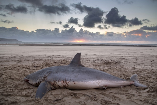 Huge 10ft shark washes up on beach in Wales