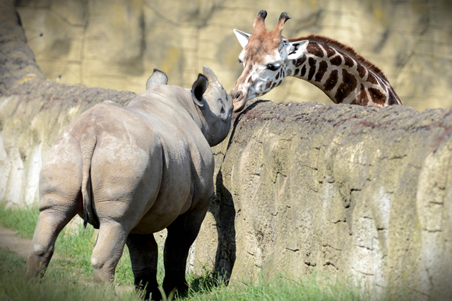 Mandatory Credit: Photo by Slavek Ruta/REX/Shutterstock (5725755f) A black rhino or hook-lipped rhinoceros male called Josef has a giraffe for a neighbor A black rhino cub with a giraffe for a neighbor, Dvur Kralove Zoo, Czech Republic - 10 Jun 2016 Two rhinocero were born on January in Zoo Dvur Kralove nad Labem in 2015. They are critically endangered in the wild nature. The Dvur Kralove Zoo has the the largest population of African animals in Europe.