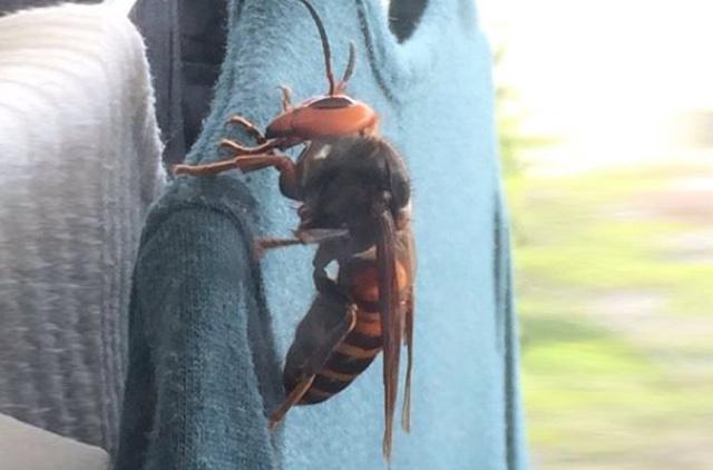 Woman find huge hornet in her wardrobe