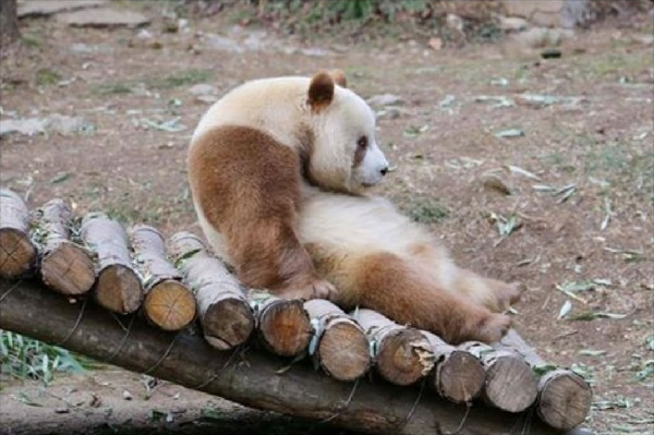 【上野】シャンシャン実況専用【パンダ】 Part.30 YouTube動画>5本 ->画像>22枚