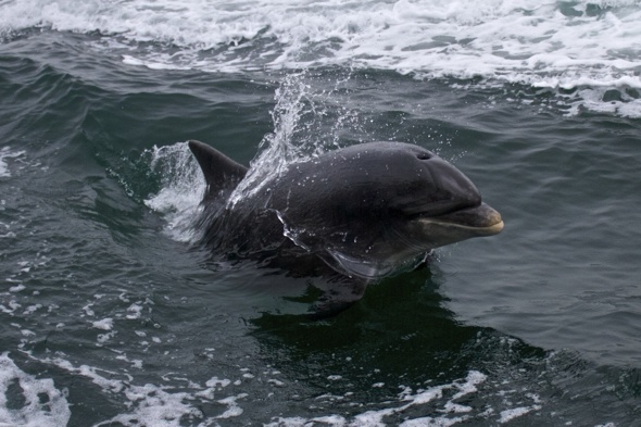 Five swimmers attacked by dolphin in Ireland