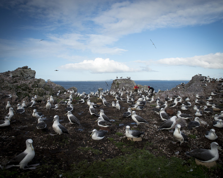 The Tasmanian Shy Albatross breeds on only three offshore islands -- Albatross Island being one of them