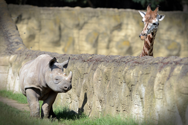 Mandatory Credit: Photo by Slavek Ruta/REX/Shutterstock (5725755c) A black rhino or hook-lipped rhinoceros male called Josef has a giraffe for a neighbor A black rhino cub with a giraffe for a neighbor, Dvur Kralove Zoo, Czech Republic - 10 Jun 2016 Two rhinocero were born on January in Zoo Dvur Kralove nad Labem in 2015. They are critically endangered in the wild nature. The Dvur Kralove Zoo has the the largest population of African animals in Europe.