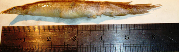 Teen nearly dies after six-inch live eel gets stuck in throat