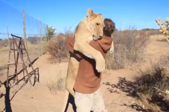 Lioness gives conversationist cuddle in cute video