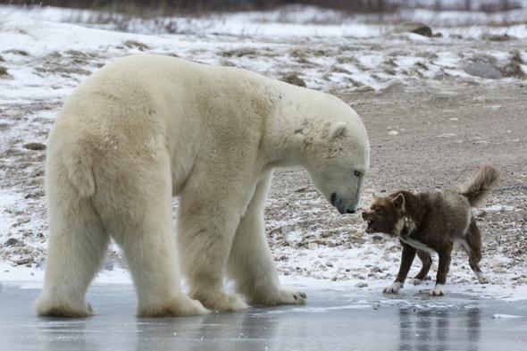 Brave dog scares off huge polar bear
