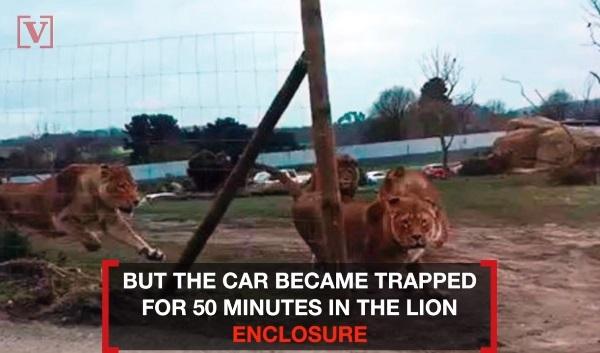 サファリパークのライオンエリアに50分閉じ込められた結果・・・【映像】