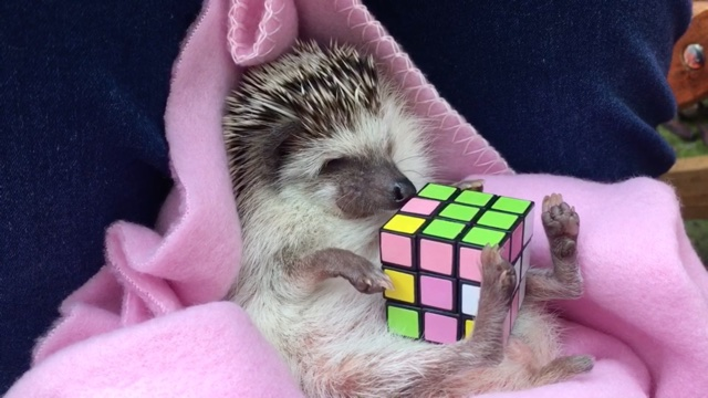 Cute hedgehog stumped by Rubik's cube