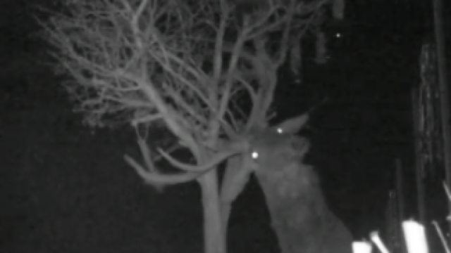 'Wily' stag uses antlers to steal bird seed from gardens