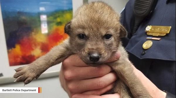 迷子の子犬が警察に届けられる→実は野生のコヨーテだったことが判明