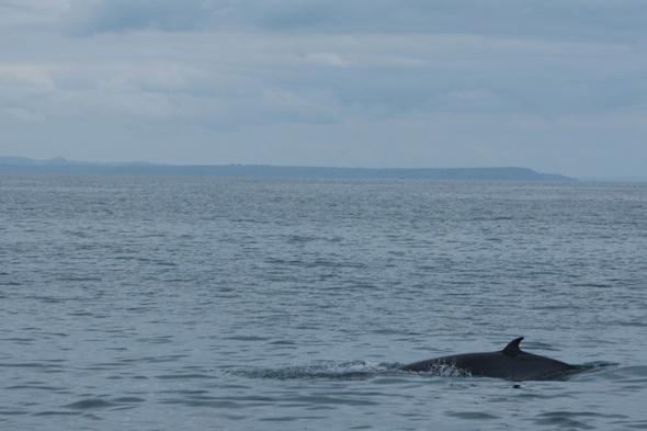 minke-whale-spotted-cornwall-coast