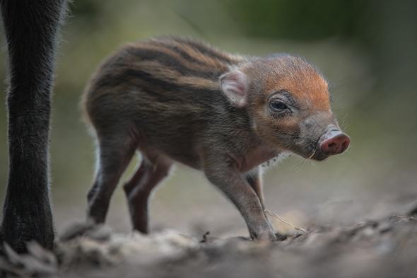 Rare baby warty pig born at Chester Zoo