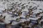Incredible footage captures elk herd galloping through Larimer County hills