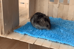 Man builds house for hamster out of popsicle sticks