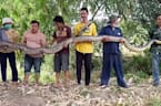 Wie im Horrorfilm: Mann stolpert über 100 kg schweres Python-Monster