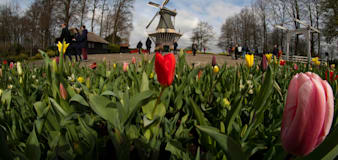 Visitors tiptoe through the tulips at famous Dutch garden
