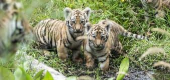 Endangered Amur tiger cubs take first steps outside