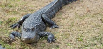 Alligator crawls out of drain at Alabama apartment complex